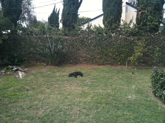 盲目の黒ラブを裏庭の芝生に放してやると・・