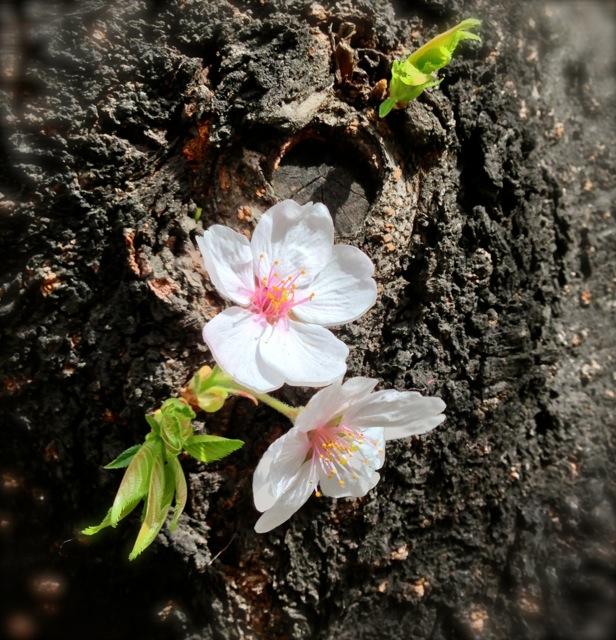 1.1根本の桜