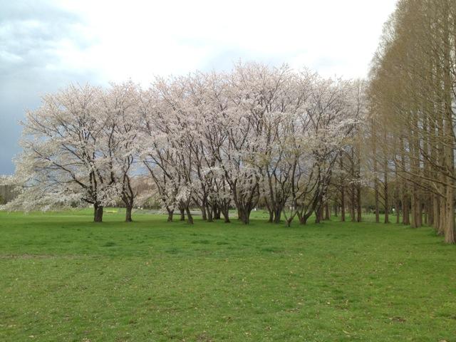 水元公園の桜_1
