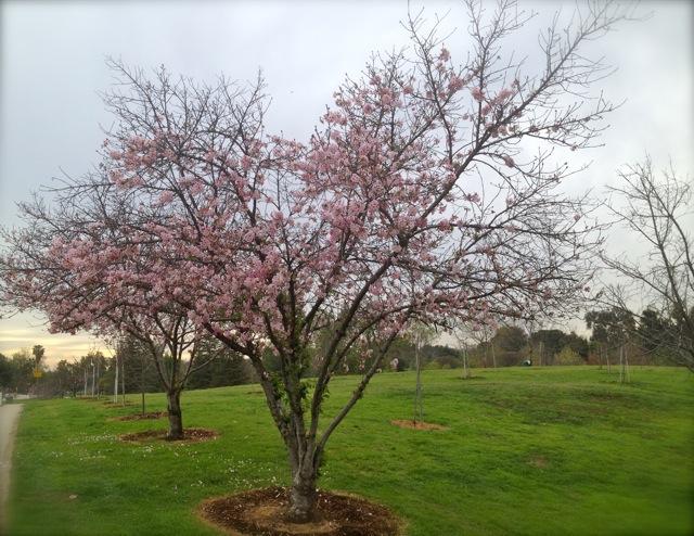 桜が咲き始めました。バルボアパーク開花報告<span style=