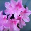 あと何度つつじの花が咲くの見たら・・